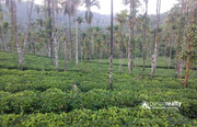 Well maintained 9 acre tea plantation for sale in Vaduvanchal.
