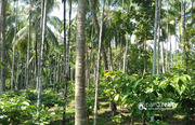 Well maintained 11 acre land  for sale in Kabani  near Pulpally .