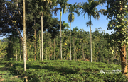 Well maintained 9.50 acre tea plantation for sale near Vaduvanchal.