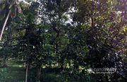 Well 55 cent land in Pachilakkadu @32 lakh. Wayanad