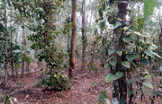 44 cent land in Karingari,  Tharuvana @ 75000/cent. Wayanad