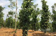 Excellent Farm land in Mananthavady @  30 lakh/acre. Wayanad