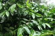coffee estate and farm stay for sale